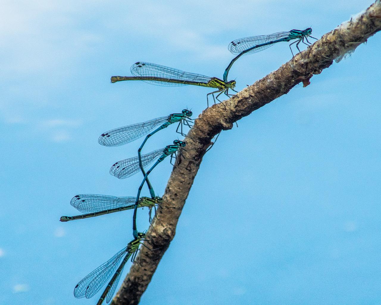 Sechs Libellen (3 Paare, je blau und grün), mglw. eine Azurjungfern-Art