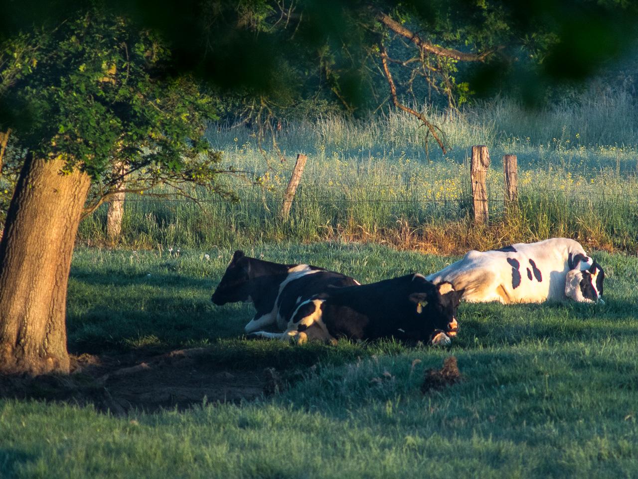 Zwei schwarze und eine weiße Kuh liegen unter Baum