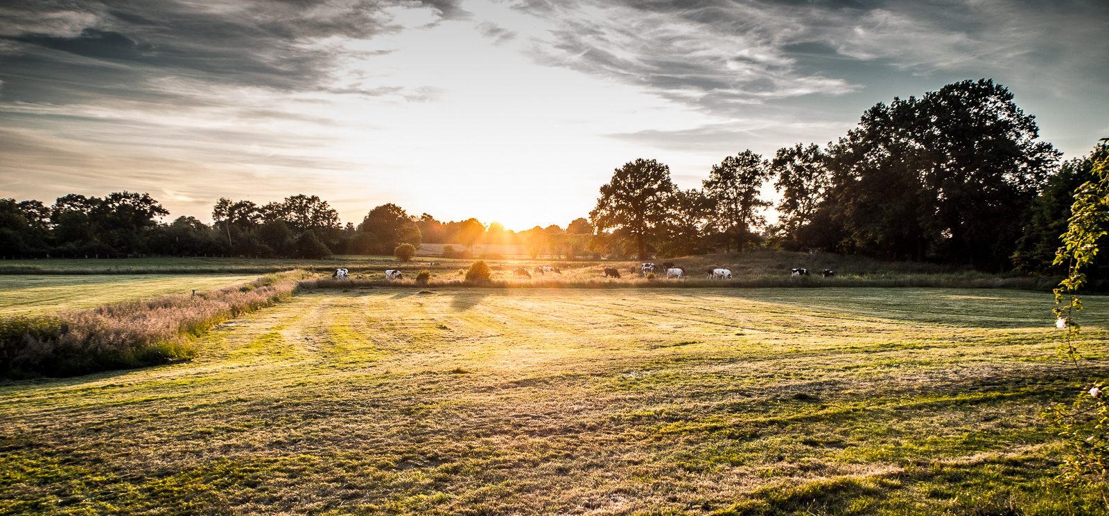 Sonnenuntergang über dem Feld, mit ein paar Kühen und dramatischem Verlaufsfilter für die Wolken