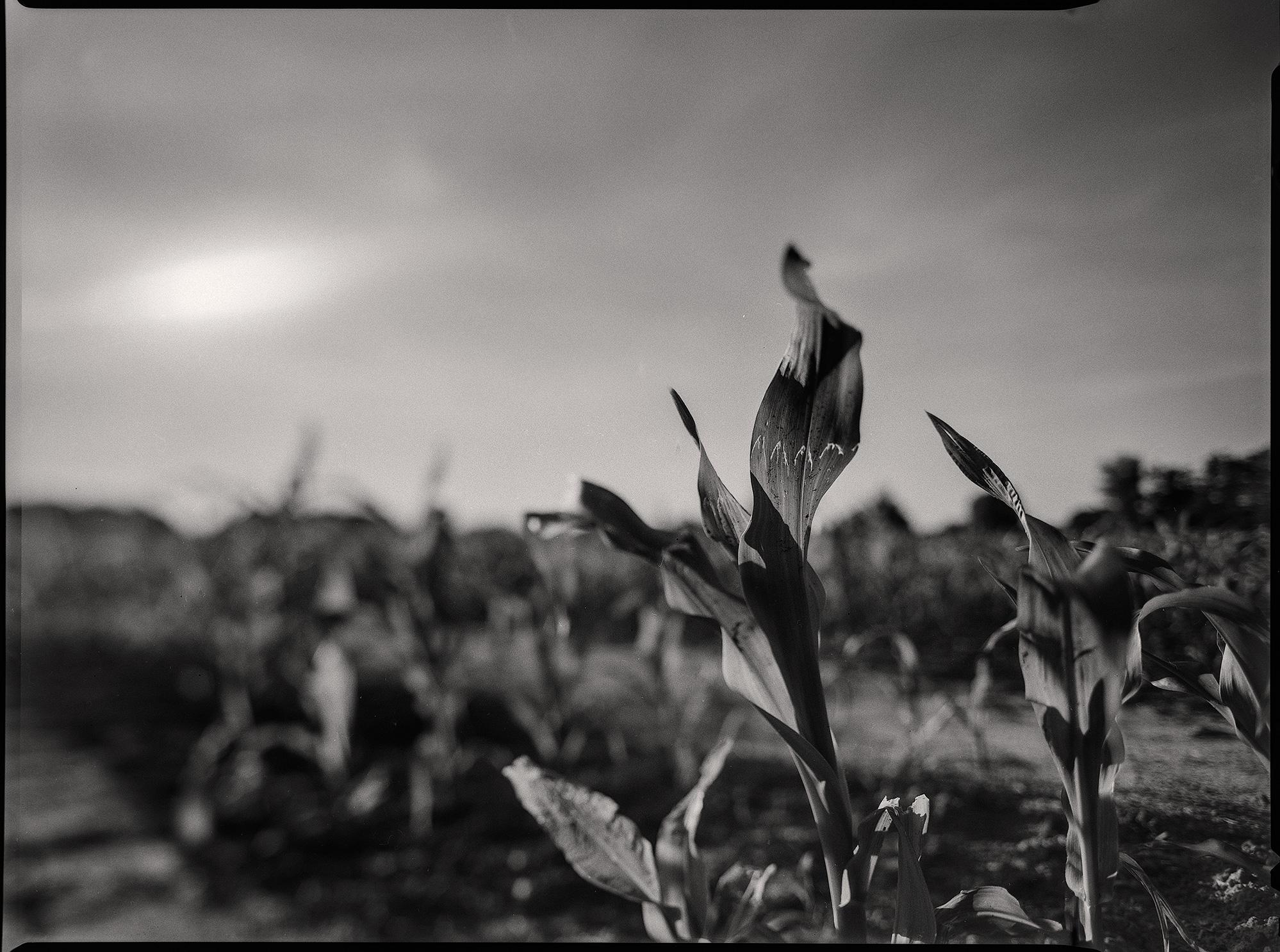 Einzelne Maispflanze
