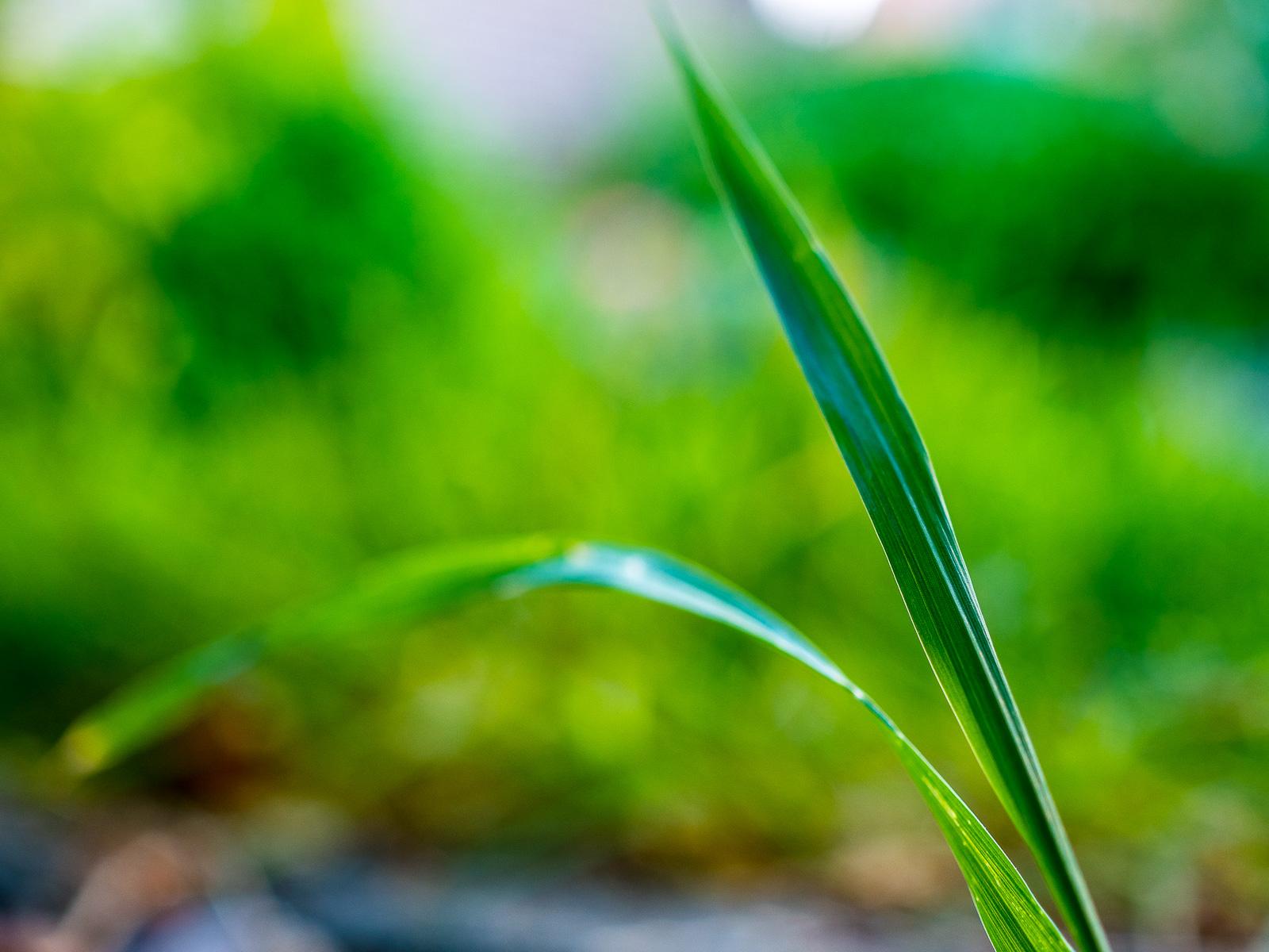 Grashalm am Rand des Rasens