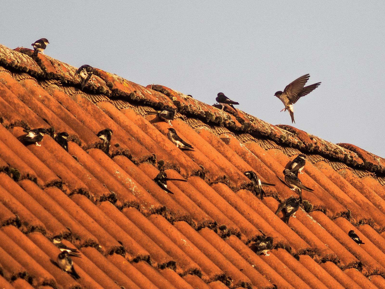 Mehlschwalben auf dem Dach