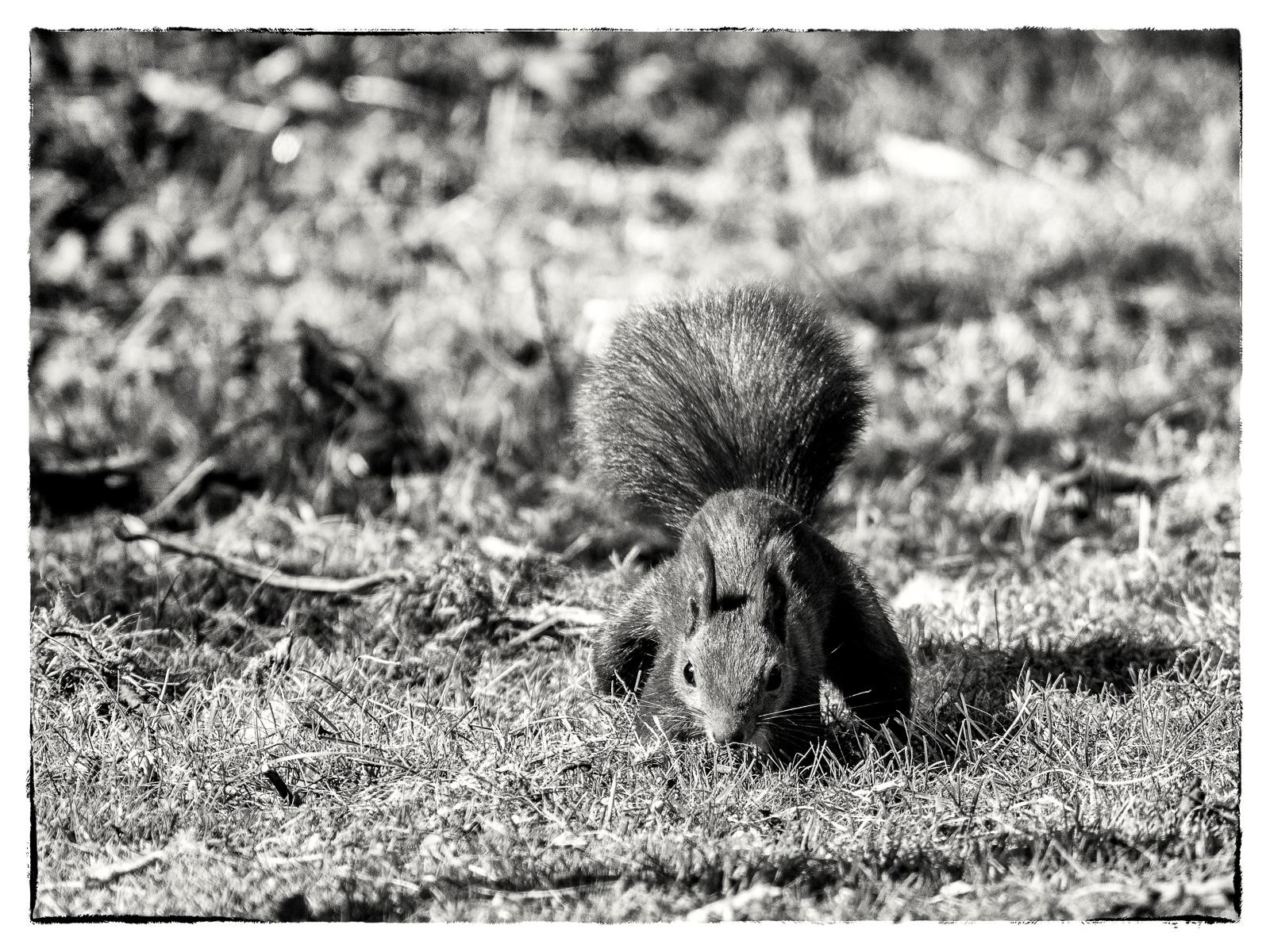 Eichhörnchen, frontal aufgenommen, mit Betonung auf den puschligen Schwanz
