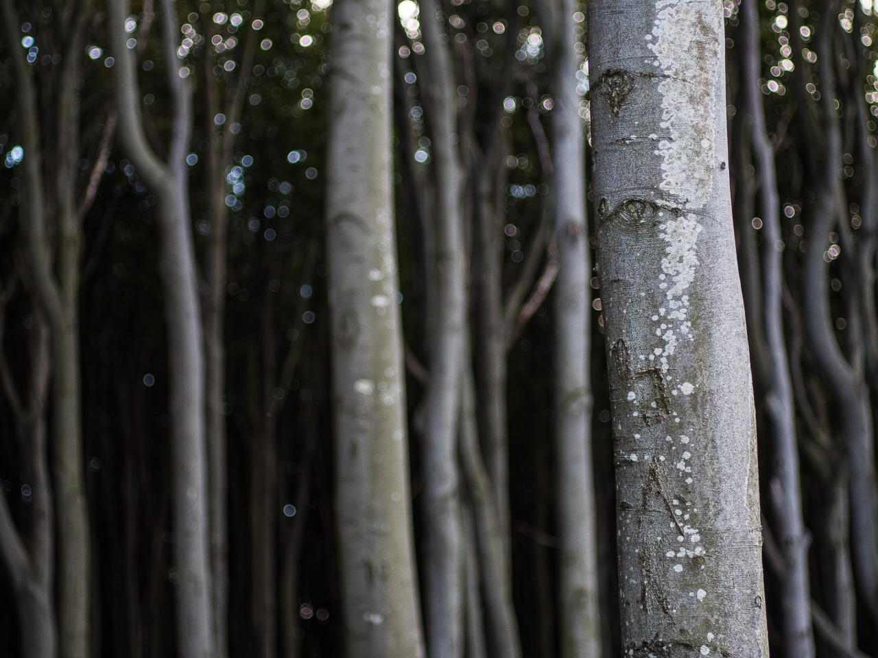 Viele Baumstämme im Gespensterwald