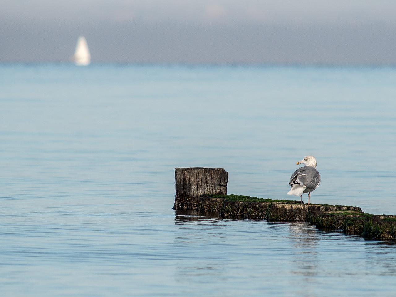 Möwe und Segelboot