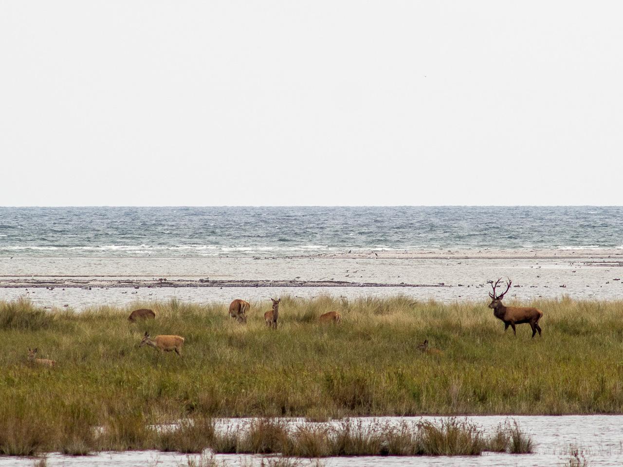 Hirsche am Strand